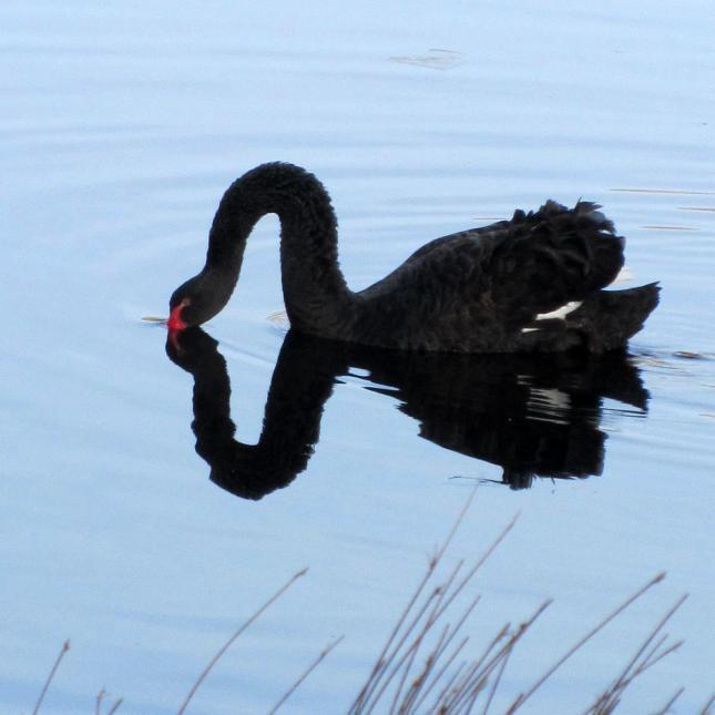 black swan 042