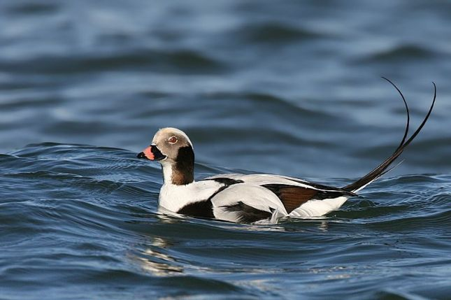 800px-Long-tailed-duck