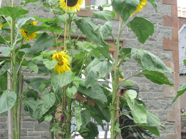 Sunflower Stakes Day 053