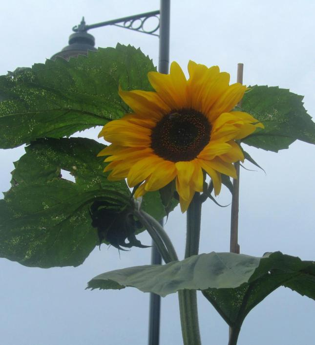 Sunflowers like Dinnerplates 001