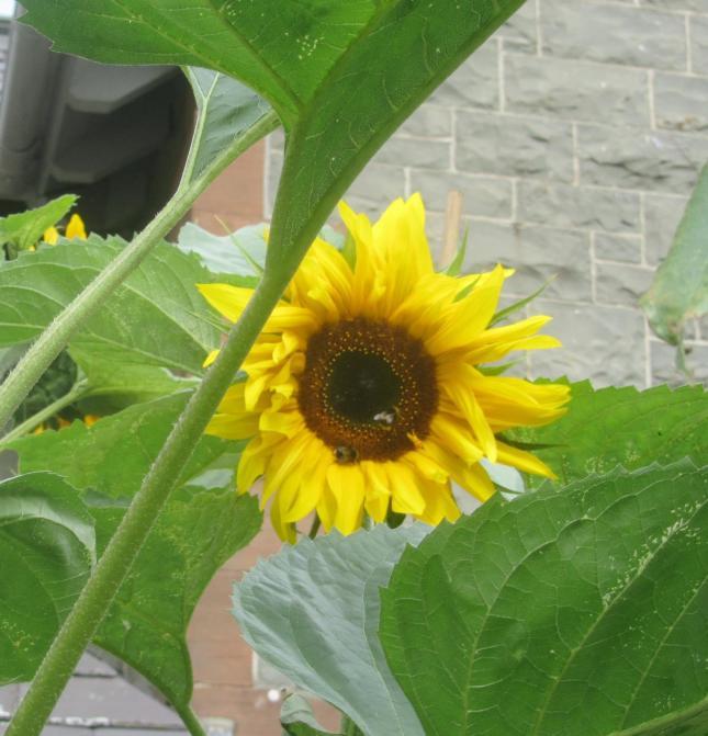 Sunflowers like Dinnerplates 005