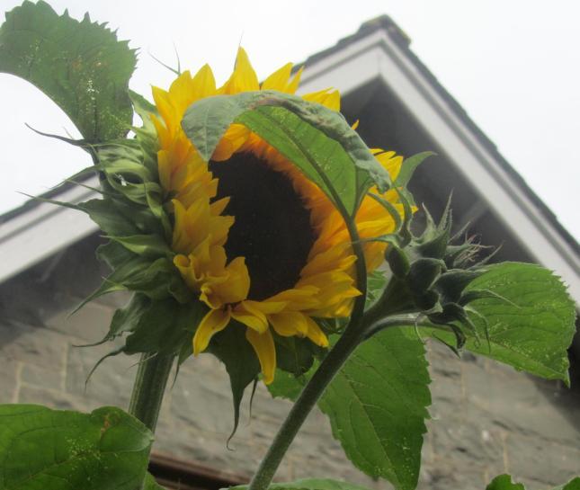 Sunflowers like Dinnerplates 009
