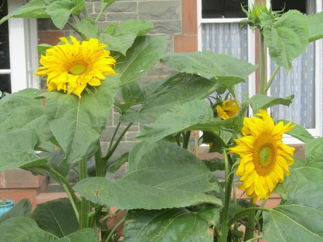 Sunflowers like Dinnerplates 012