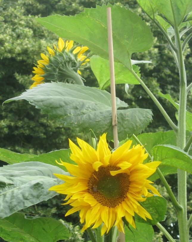 Sunflowers like Dinnerplates 013