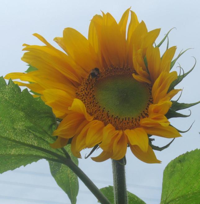 Sunflowers like Dinnerplates 015