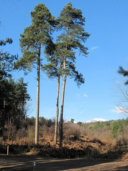 450px-A_trio_of_Scots_Pine_-_geograph_org_uk_-_1750728
