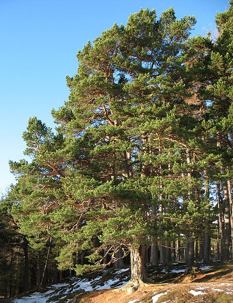 461px-Pinus_sylvestris_Glenmuick