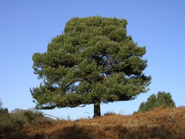 pino-solitario