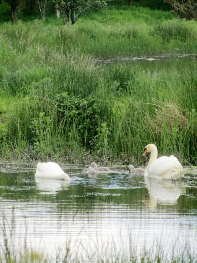 Swans 007