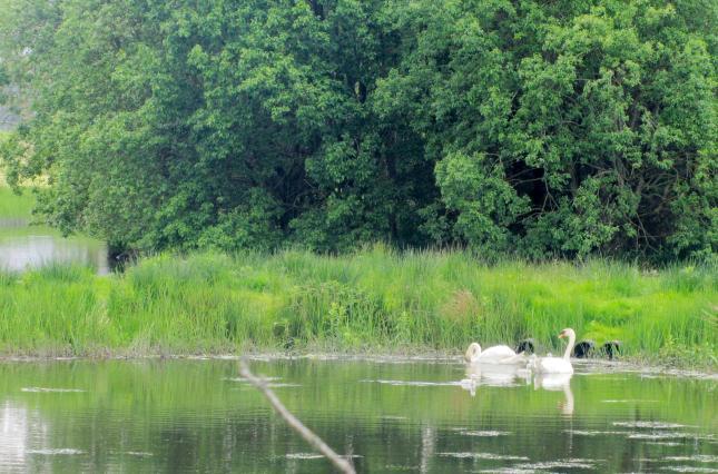 Swans 011