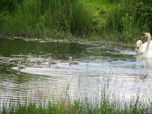 Swans 016