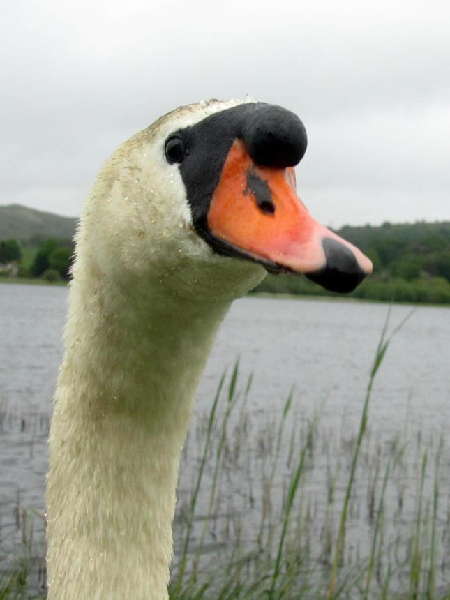 Loch Ken Swan 021