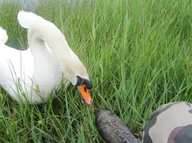 Loch Ken Swan 025