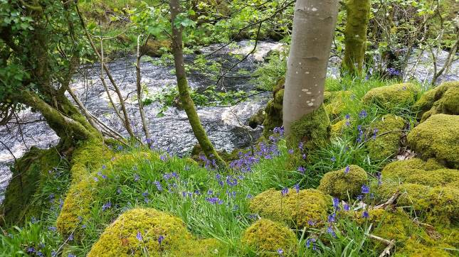 bluebells amongst the moss