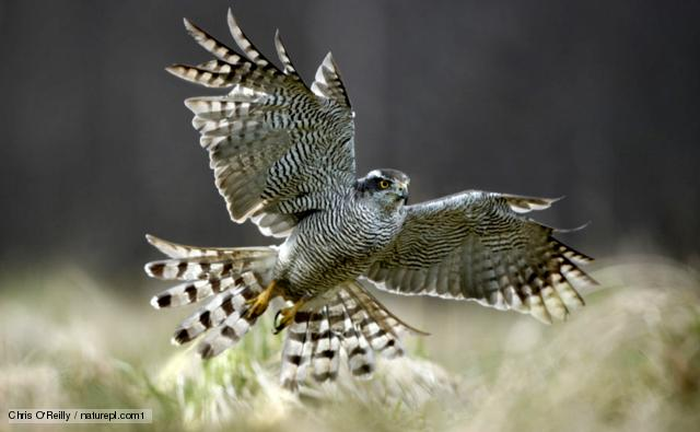 Female Goshawk