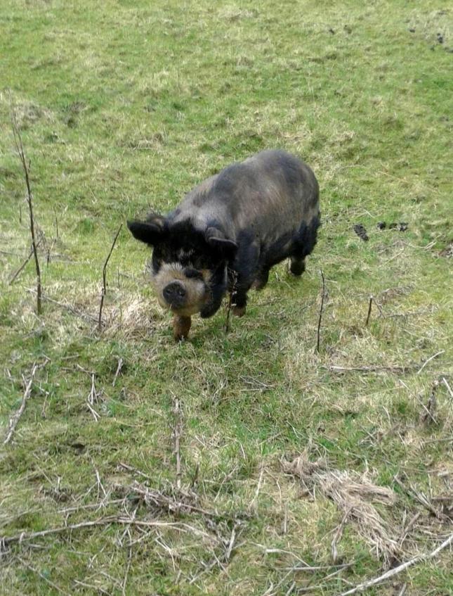 pettin the pig